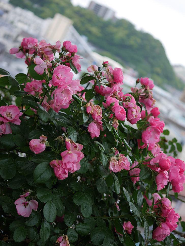 アンジェラ(Angela)の花がまだ咲いている。ツルバラ。2020年-018.jpg