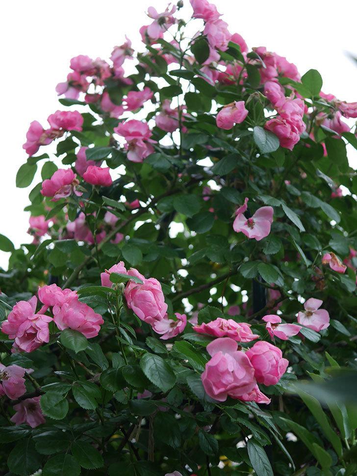アンジェラ(Angela)の花がまだ咲いている。ツルバラ。2020年-019.jpg