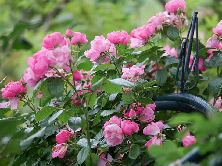 アンジェラ(Angela)の花がまだ咲いている。ツルバラ。2020年-020.jpg