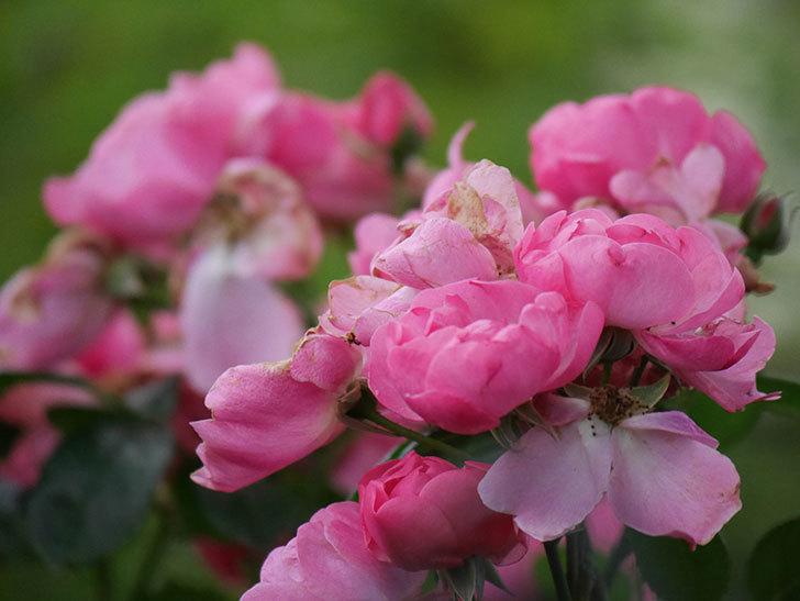 アンジェラ(Angela)の花がまだ咲いている。ツルバラ。2020年-022.jpg