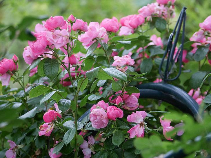 アンジェラ(Angela)の花がまだ咲いている。ツルバラ。2020年-023.jpg