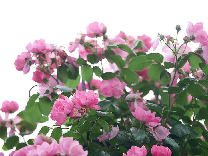 アンジェラ(Angela)の花がまだ咲いている。ツルバラ。2020年-024.jpg