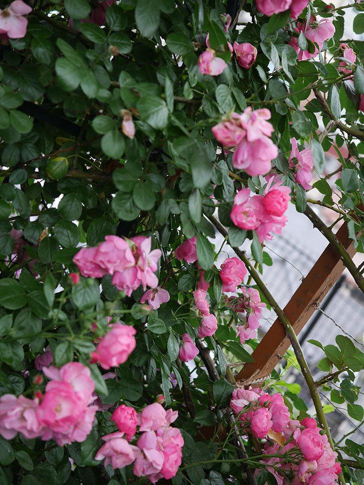 アンジェラ(Angela)の花がまだ咲いている。ツルバラ。2020年-025.jpg