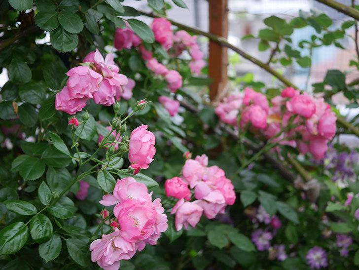 アンジェラ(Angela)の花がまだ咲いている。ツルバラ。2020年-026.jpg
