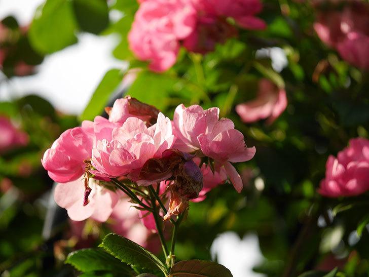 アンジェラ(Angela)の花がまだ咲いている。ツルバラ。2020年-027.jpg