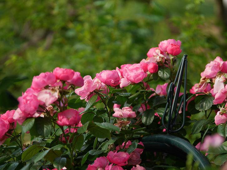 アンジェラ(Angela)の花がまだ咲いている。ツルバラ。2020年-028.jpg