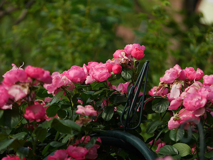 アンジェラ(Angela)の花がまだ咲いている。ツルバラ。2020年-029.jpg