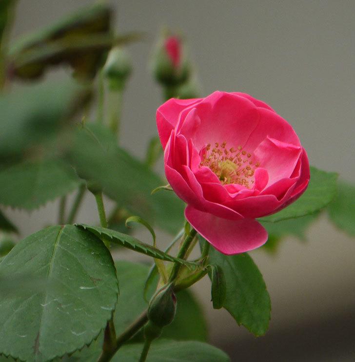 アンジェラ(ツルバラ)がアーチの上の方で咲き始めた。2017年-1.jpg