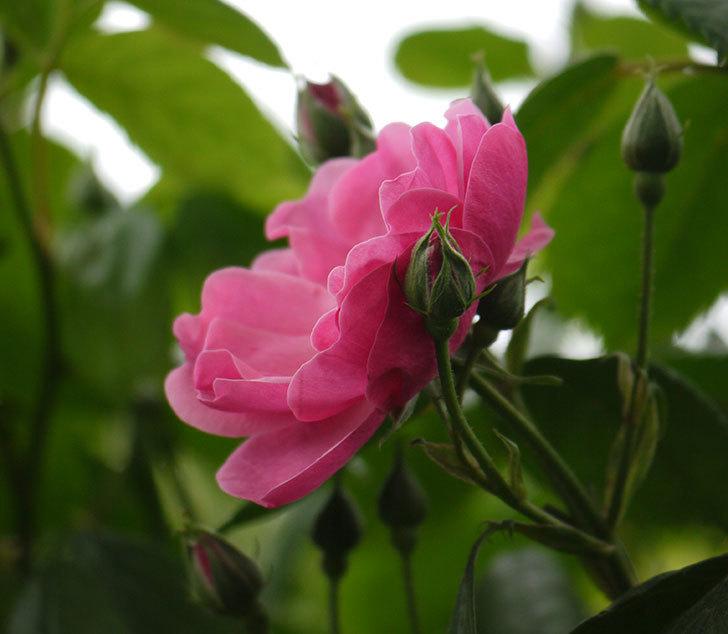 アンジェラ(ツルバラ)がアーチの上の方で咲き始めた。2017年-10.jpg