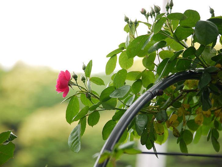 アンジェラ(ツルバラ)がアーチの上の方で咲き始めた。2017年-12.jpg