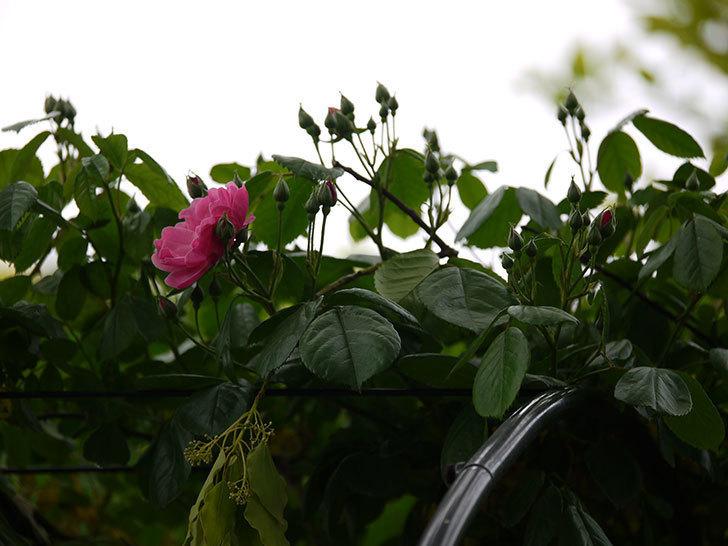 アンジェラ(ツルバラ)がアーチの上の方で咲き始めた。2017年-13.jpg