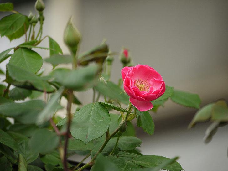 アンジェラ(ツルバラ)がアーチの上の方で咲き始めた。2017年-2.jpg