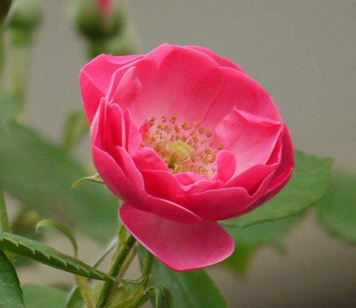 アンジェラ(ツルバラ)がアーチの上の方で咲き始めた。2017年-3.jpg