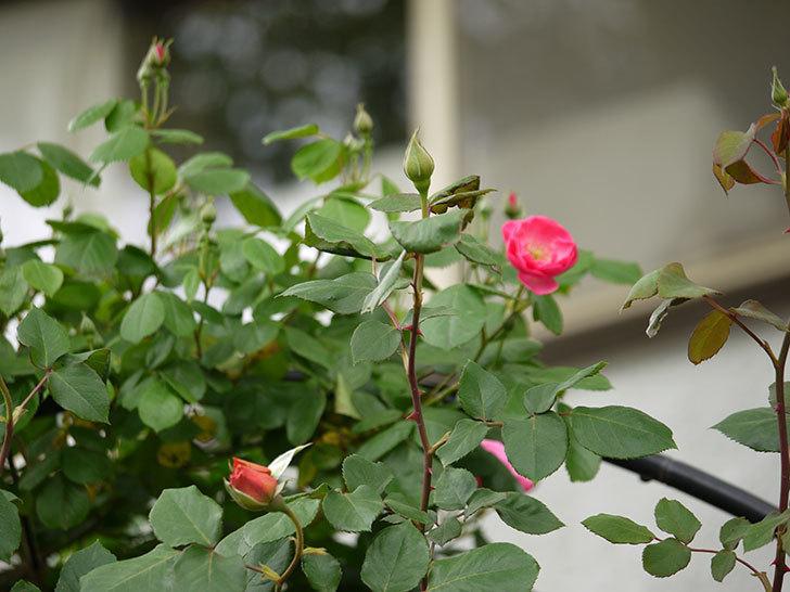 アンジェラ(ツルバラ)がアーチの上の方で咲き始めた。2017年-4.jpg