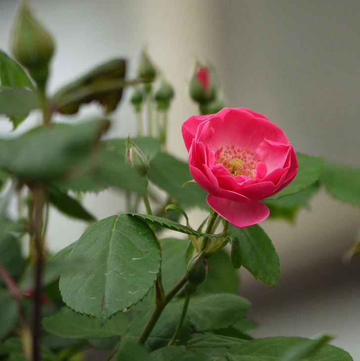 アンジェラ(ツルバラ)がアーチの上の方で咲き始めた。2017年-5.jpg