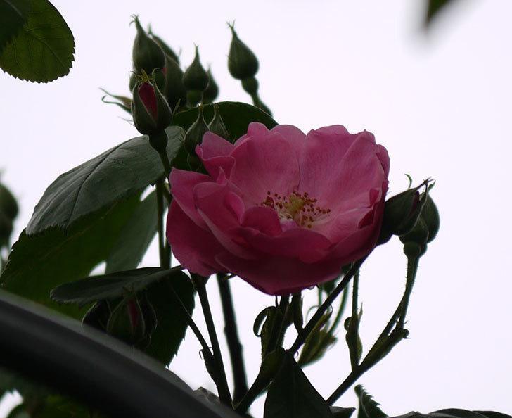 アンジェラ(ツルバラ)がアーチの上の方で咲き始めた。2017年-6.jpg