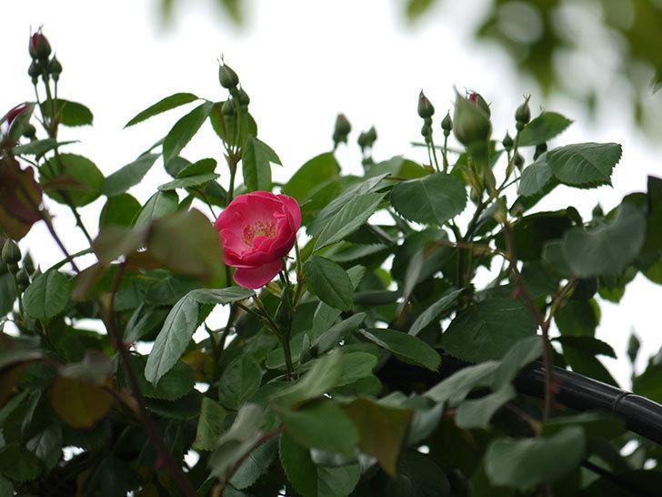 アンジェラ(ツルバラ)がアーチの上の方で咲き始めた。2017年-7.jpg