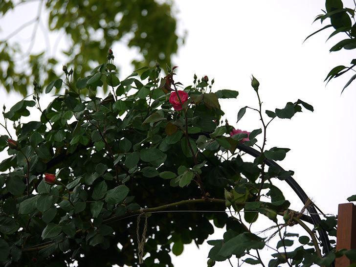 アンジェラ(ツルバラ)がアーチの上の方で咲き始めた。2017年-9.jpg