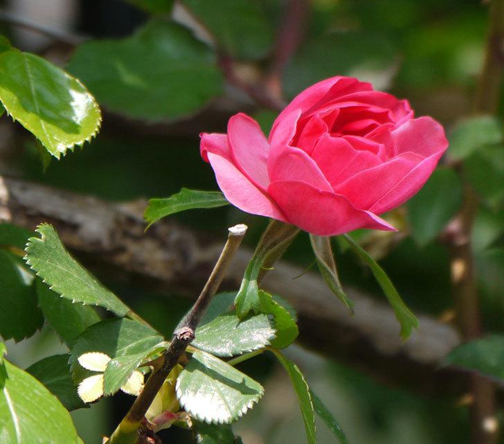 アンジェラ(ツルバラ)が咲きだした。2018年-1.jpg