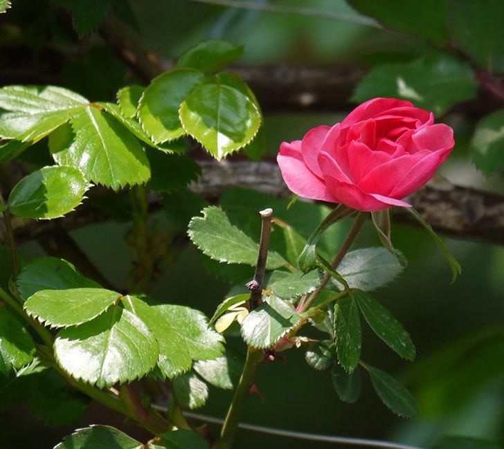 アンジェラ(ツルバラ)が咲きだした。2018年-4.jpg