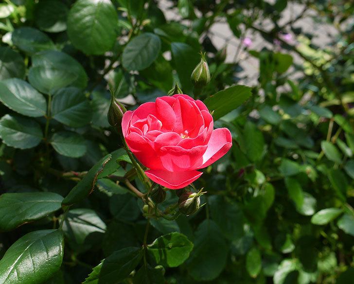 アンジェラ(ツルバラ)が咲き出した。2016年-1.jpg