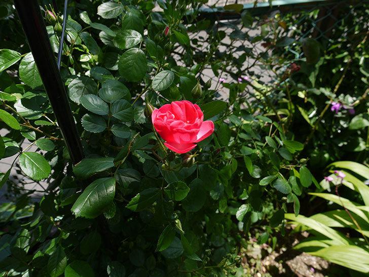 アンジェラ(ツルバラ)が咲き出した。2016年-3.jpg