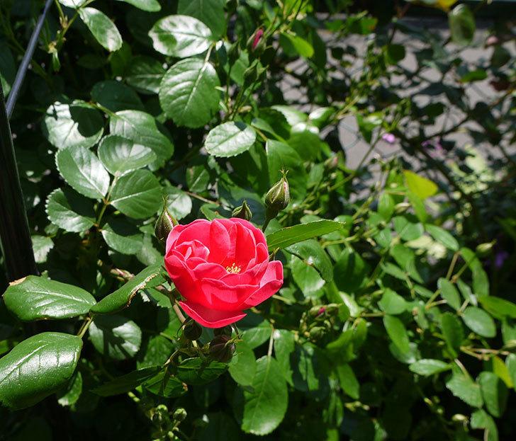 アンジェラ(ツルバラ)が咲き出した。2016年-4.jpg