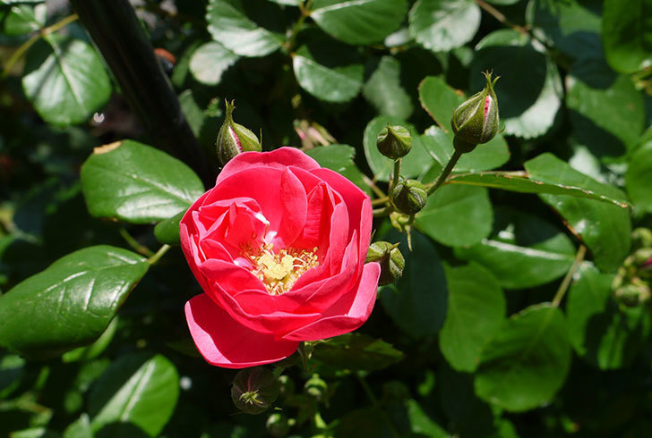 アンジェラ(ツルバラ)が咲き出した。2016年-5.jpg