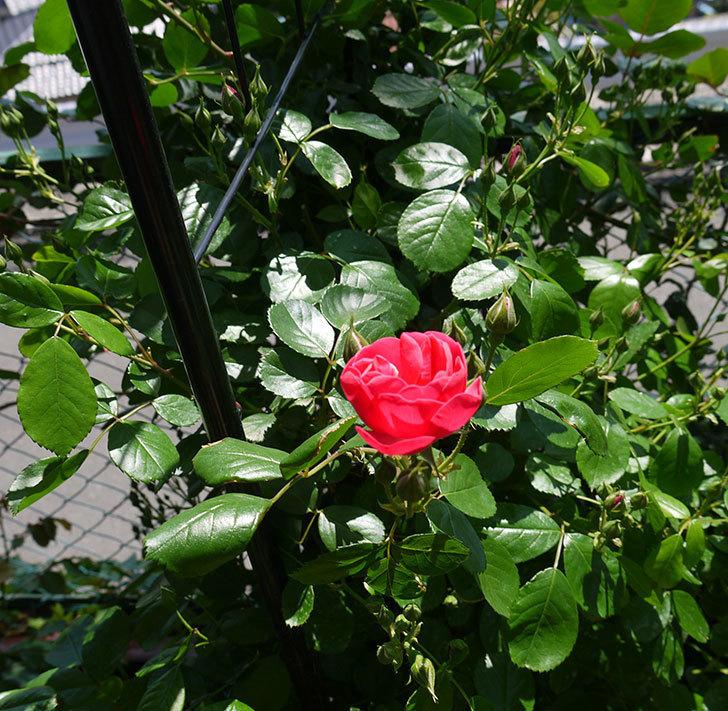 アンジェラ(ツルバラ)が咲き出した。2016年-6.jpg