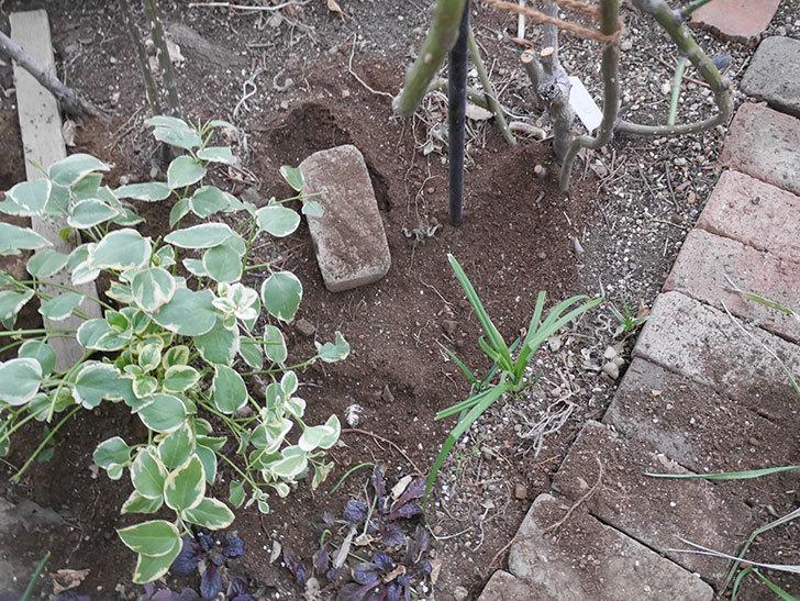 アンジェラ(ツルバラ)に寒肥を施した。2019年-5.jpg