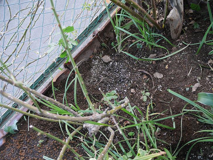 アンジェラ(ツルバラ)に寒肥を施した。2020年-11.jpg