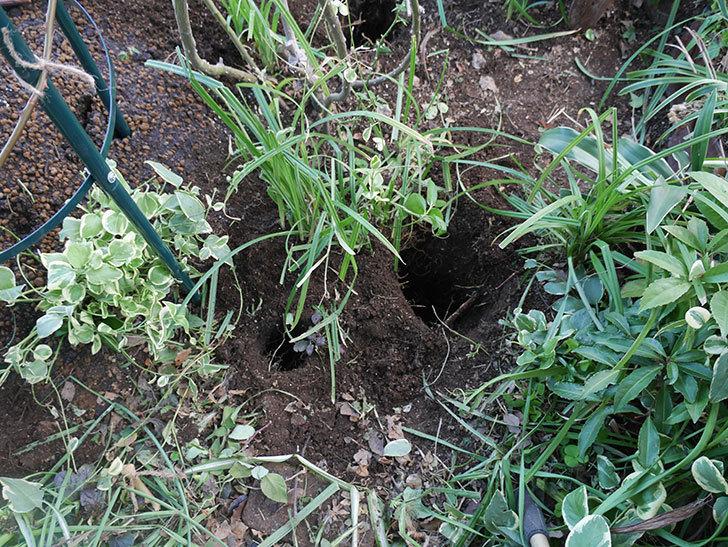 アンジェラ(ツルバラ)に寒肥を施した。2020年-3.jpg