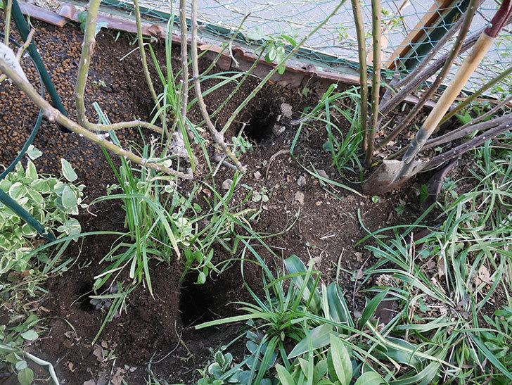 アンジェラ(ツルバラ)に寒肥を施した。2020年-4.jpg