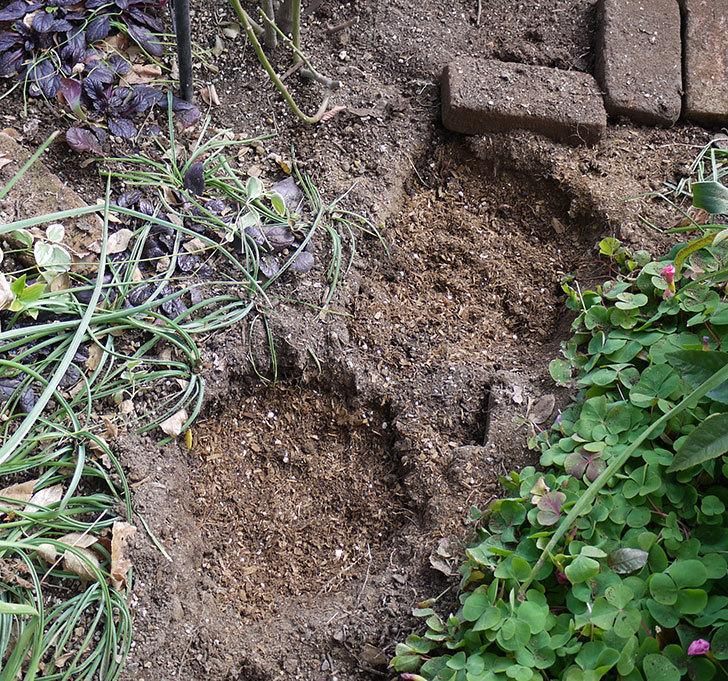 アンジェラ(ツルバラ)に穴を掘って寒肥をやった。2017年-10.jpg