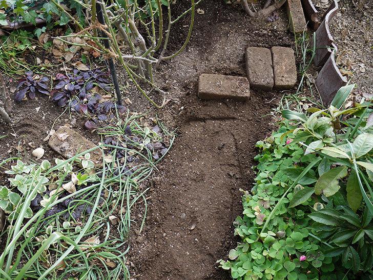 アンジェラ(ツルバラ)に穴を掘って寒肥をやった。2017年-14.jpg