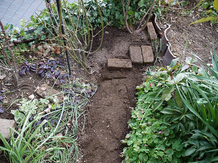 アンジェラ(ツルバラ)に穴を掘って寒肥をやった。2017年-15.jpg