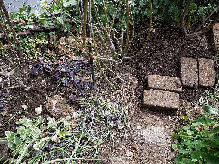 アンジェラ(ツルバラ)に穴を掘って寒肥をやった。2017年-2.jpg