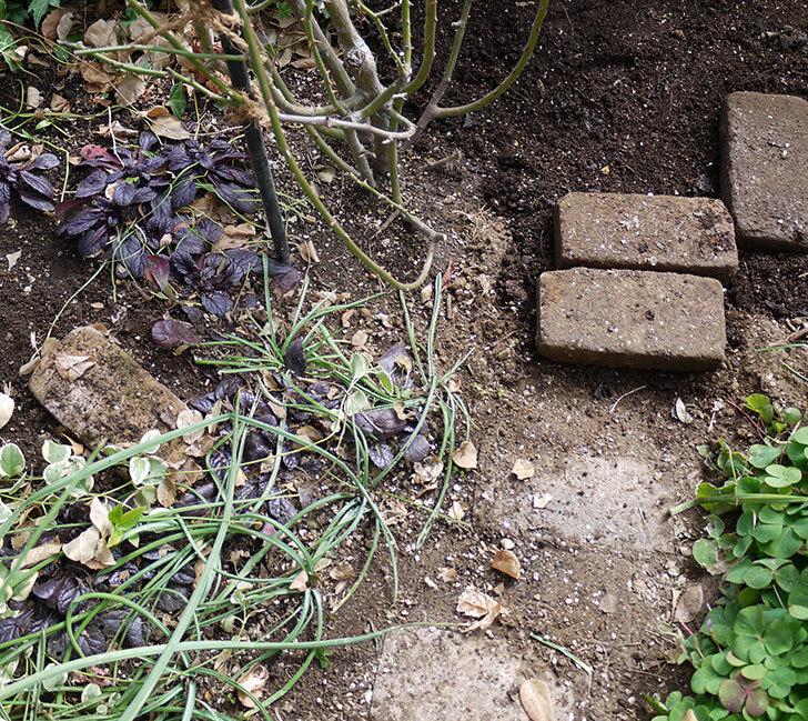 アンジェラ(ツルバラ)に穴を掘って寒肥をやった。2017年-3.jpg