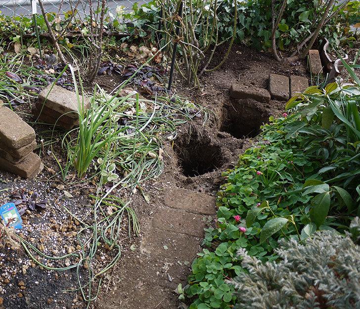 アンジェラ(ツルバラ)に穴を掘って寒肥をやった。2017年-8.jpg