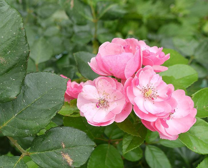 アンジェラ(ツルバラ)の2番花が咲いた。2016年-1.jpg