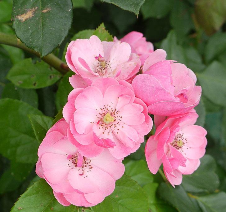 アンジェラ(ツルバラ)の2番花が咲いた。2016年-3.jpg