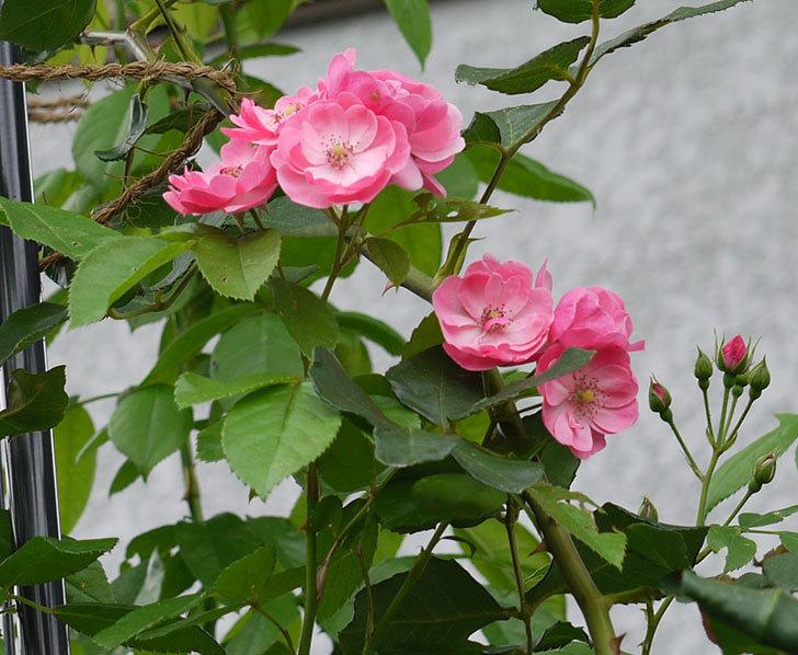 アンジェラ(ツルバラ)の2番花が咲いた。2016年-4.jpg