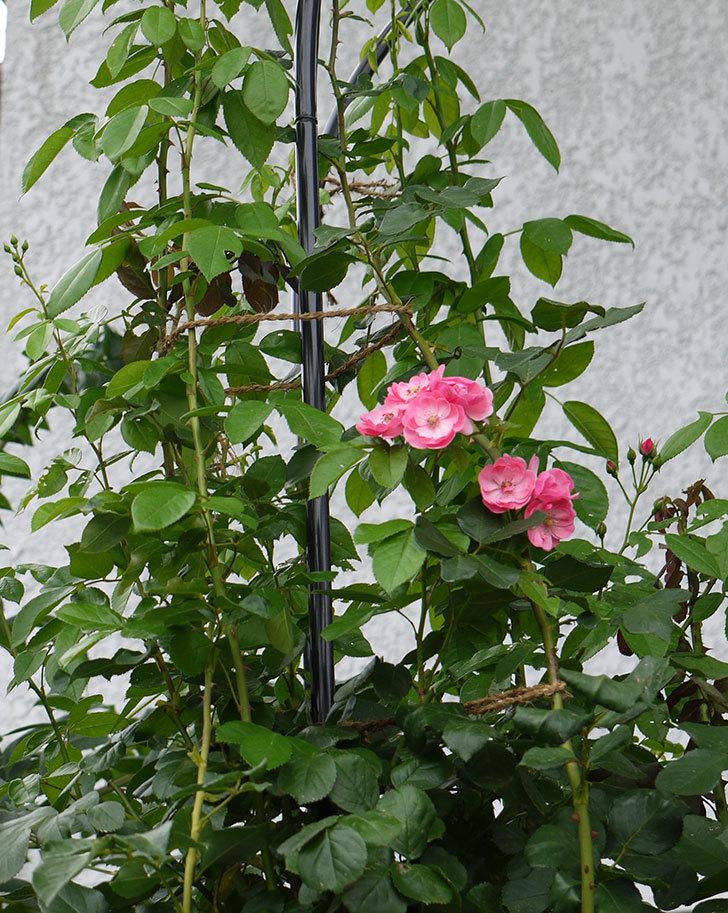 アンジェラ(ツルバラ)の2番花が咲いた。2016年-5.jpg