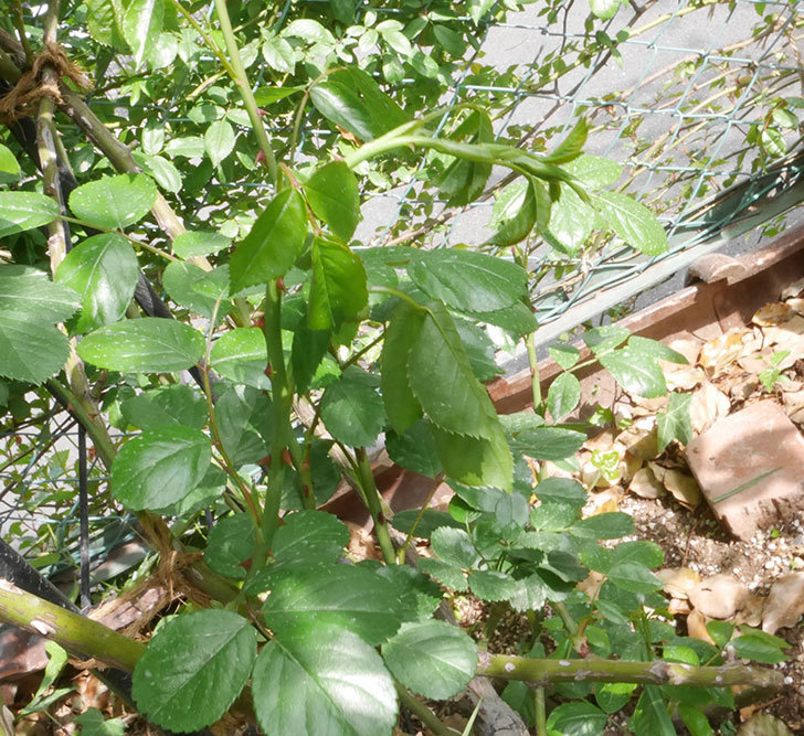 アンジェラ(ツルバラ)の新枝が1本バラクキバチにまたやられて萎れた。2019年-1.jpg