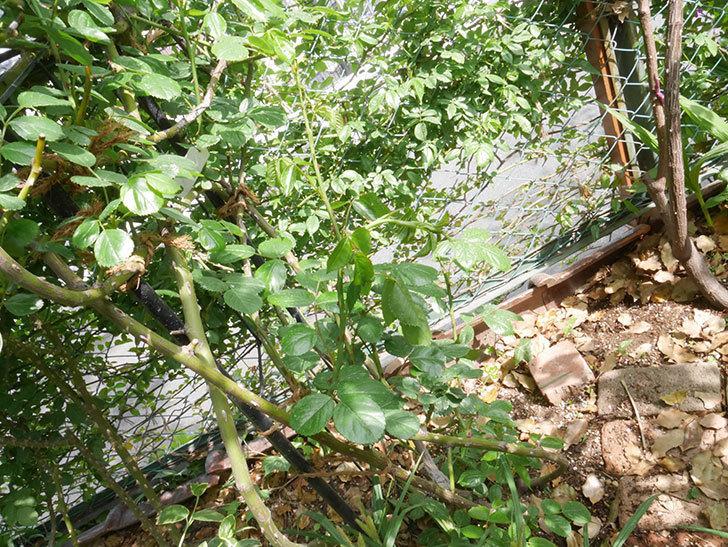 アンジェラ(ツルバラ)の新枝が1本バラクキバチにまたやられて萎れた。2019年-2.jpg