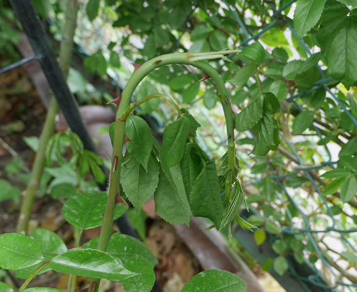 アンジェラ(ツルバラ)の新枝が4本バラクキバチにやられて萎れた。2019年-1.jpg