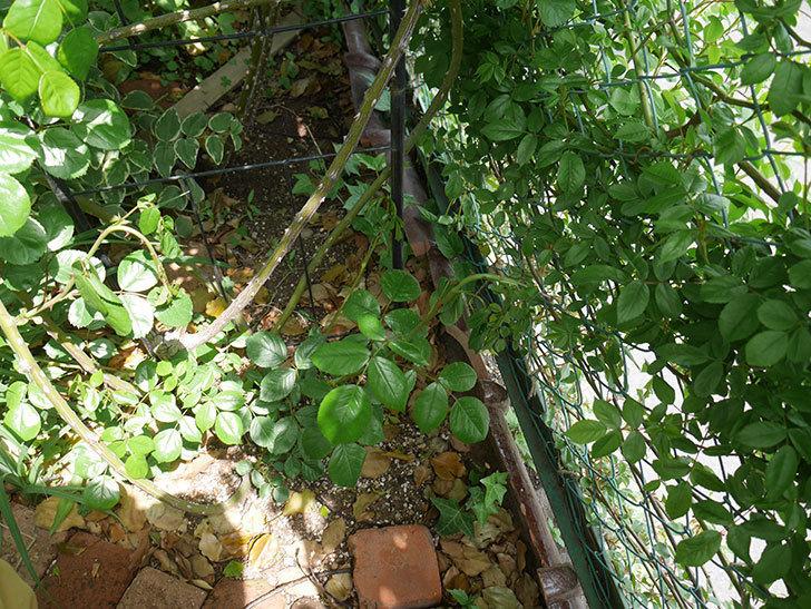 アンジェラ(ツルバラ)の新枝が4本バラクキバチにやられて萎れた。2019年-3.jpg