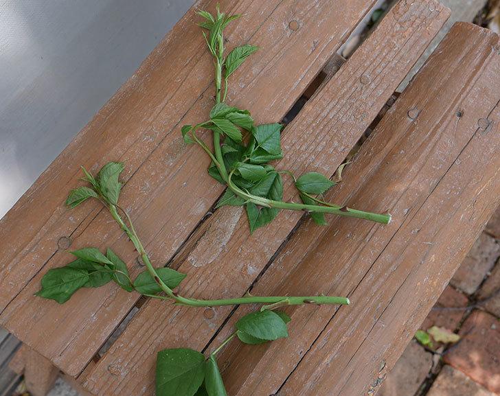 アンジェラ(ツルバラ)の新枝が4本バラクキバチにやられて萎れた。2019年-4.jpg