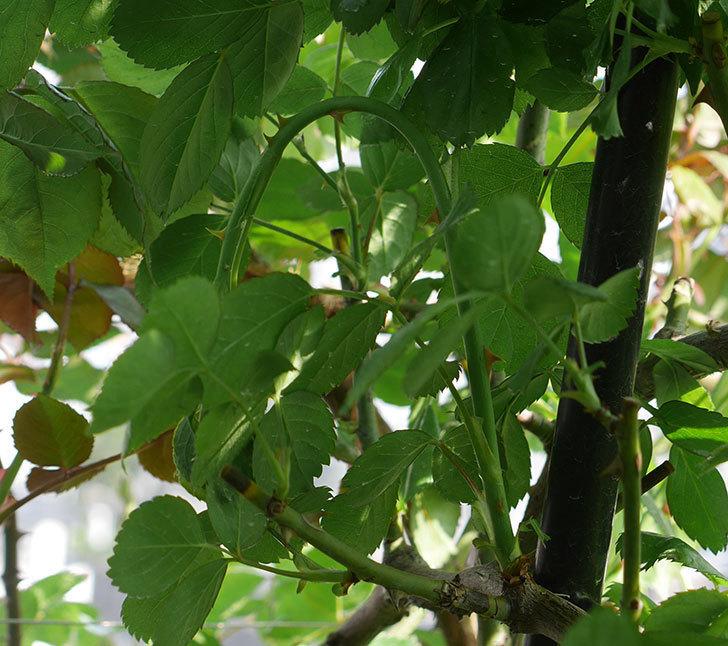 アンジェラ(ツルバラ)の新枝が4本バラクキバチにやられて萎れた。2019年-8.jpg