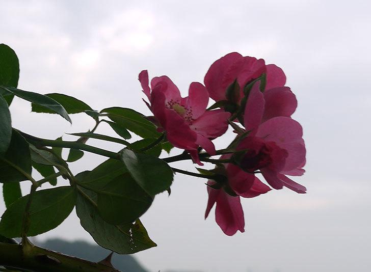 アンジェラ(ツルバラ)の秋花が咲いた。2016年-1.jpg